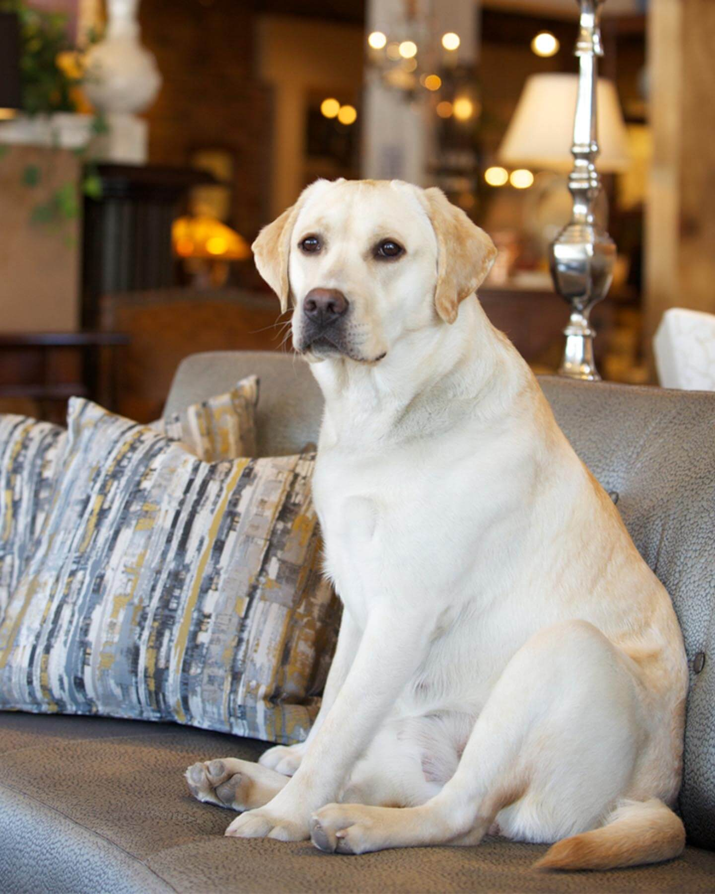 Dog on luxury furniture from Reid's.